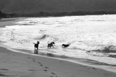 Hundkapplöpning i havet Arkivfoton