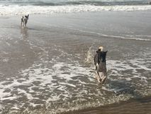 Hundkapplöpning i havet Arkivbilder