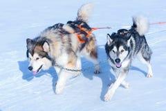 Hundkapplöpning i sele i vit snö för vinter arkivfoto