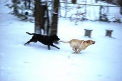 Hundkapplöpning i snön Royaltyfri Foto