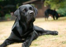 Hundkapplöpning i trädgård arkivbilder