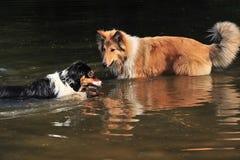 Hundkapplöpning i vatten Arkivbilder