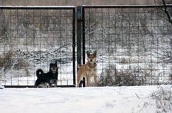 Hundkapplöpning i vinterby Royaltyfri Fotografi