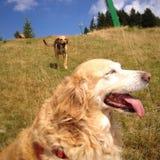 Hundkapplöpning - när förälskelse kommer Fotografering för Bildbyråer