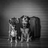 Hundkapplöpning och bagage Royaltyfri Bild