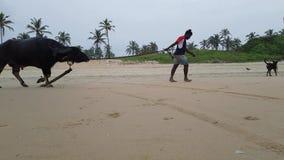 Hundkapplöpning och en tjur på stranden i Goa Indien arkivfilmer