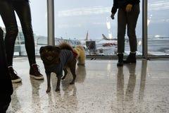 Hundkapplöpning och folk i flygplats arkivfoton