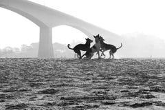Hundkapplöpning och vanor Royaltyfri Foto