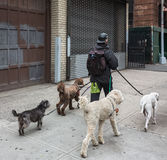 Hundkapplöpning på gatorna av NYC Fotografering för Bildbyråer