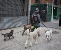 Hundkapplöpning på gatorna av NYC Arkivbilder