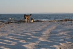 2 hundkapplöpning på kusten som ser i solnedgången Royaltyfria Foton