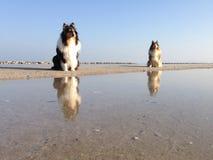 Hundkapplöpning på vatten på stranden Royaltyfri Foto