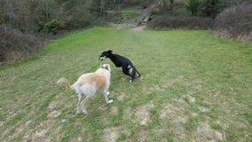 Hundkapplöpning pil och Sam Arkivbilder