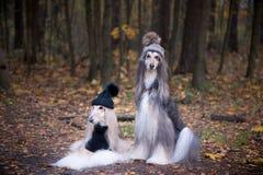 Hundkapplöpning roliga två, mycket gulliga afghanska hundar arkivbilder