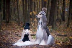 Hundkapplöpning roliga två, mycket gulliga hattar för afghanska hundar royaltyfri bild