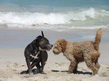 Hundkapplöpning som är social på stranden arkivfoto
