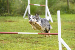 Hundkapplöpning som öva sporten av vighet Royaltyfri Fotografi