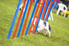 Hundkapplöpning som öva sporten av vighet Arkivbild