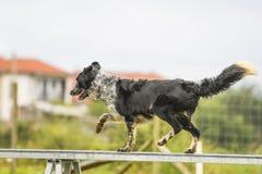 Hundkapplöpning som öva sporten av vighet Arkivbilder