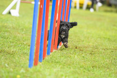 Hundkapplöpning som öva sporten av vighet royaltyfri bild