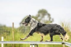Hundkapplöpning som öva sporten av vighet Arkivfoton