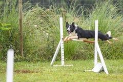 Hundkapplöpning som öva sporten av vighet royaltyfria foton