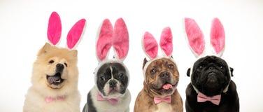 Hundkapplöpning som bär kaninöron och flugor som den easter dräkten arkivbild
