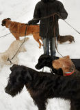 Hundkapplöpning som går för en gå Arkivfoto