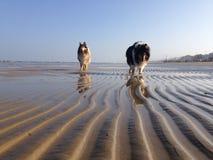 Hundkapplöpning som går på stranden Arkivbild