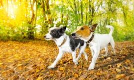 Hundkapplöpning som kör eller går i höst arkivfoton