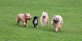 Hundkapplöpning som kör och spelar Arkivbilder