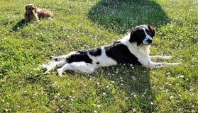 2 hundkapplöpning som lägger i ett fält av tusenskönor royaltyfri bild