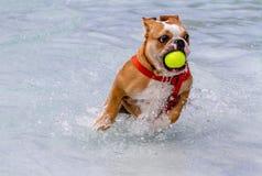 Hundkapplöpning som offentligt simmar pölen Royaltyfri Bild