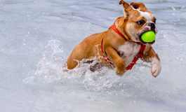 Hundkapplöpning som offentligt simmar pölen arkivbild