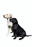 Hundkapplöpning som ser Royaltyfri Bild