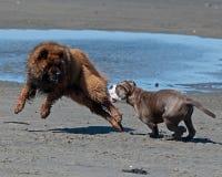 Hundkapplöpning som slåss på stranden royaltyfri foto