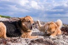 Hundkapplöpning som slåss på stranden Arkivfoto