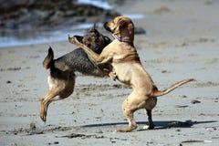 Hundkapplöpning som spelar buse Arkivfoton