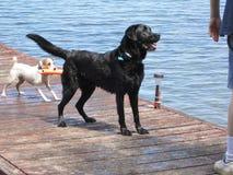 Hundkapplöpning som spelar Fetch i vatten Royaltyfri Foto