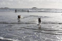 Hundkapplöpning som spelar i bränning Arkivfoto