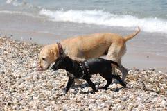 Hundkapplöpning som spelar i en våt strand arkivbild