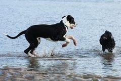 Hundkapplöpning som spelar i havet Royaltyfria Bilder