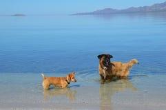 Hundkapplöpning som spelar i Mexico i Baja California del Sur, Mexico Arkivfoto