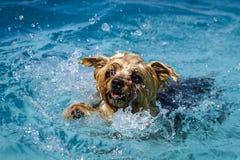 Hundkapplöpning som spelar i simbassäng Royaltyfria Foton
