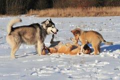 Hundkapplöpning som spelar i snö Royaltyfri Bild