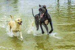 Hundkapplöpning som spelar i vattnet Royaltyfria Foton