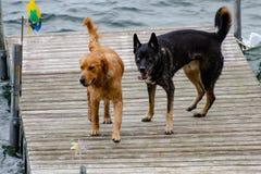 Hundkapplöpning som spelar på en skeppsdocka på sjön royaltyfri bild