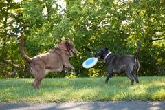 Hundkapplöpning som spelar på parkera Arkivfoto