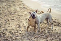 Hundkapplöpning som spelar stranden Pattaya Arkivfoto