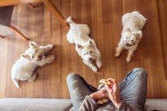 Hundkapplöpning som tigger för mat: tre hungrig västra höglands- vit westie t arkivbilder